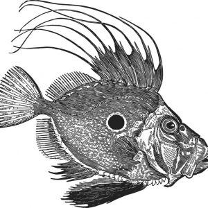 Fische, Drachenfisch